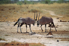 Oryxantilop Arkivbilder