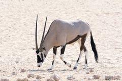 Oryxantilop Fotografering för Bildbyråer