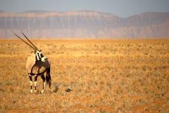 Oryxantilop Royaltyfri Fotografi