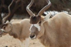 Oryxantilop Arkivfoto