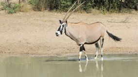 Oryxantilop - djurliv från Afrika - svärdhorn royaltyfri bild