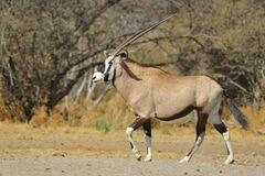 Oryxantilop - djurlivbakgrund - Gemsbokställing och horn Fotografering för Bildbyråer