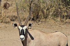 Oryxantilop/Gemsbuck - djurliv från Afrika - stirrandet Fotografering för Bildbyråer