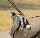 Oryxantilop - Gemsbuck - krullning och band Royaltyfria Foton