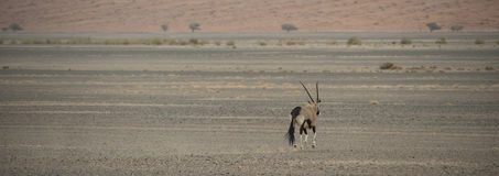 Oryxantilop i öknen arkivfoto