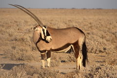 Oryxantilop i den Etosha nationalparken, Namibia Arkivfoto