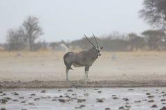 Oryxantilop i en stormby Arkivfoton