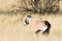 Oryxantilop i gräs Royaltyfria Foton