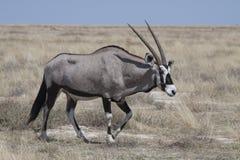 Oryxantilop i savann Arkivfoto
