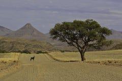 Oryxantilop under en tree Arkivbild
