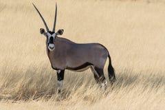 Oryxantilopantilope Arkivfoton