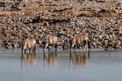 Oryxantilopen, die an einem waterhole in Etosha-Park in Namibia trinken stockfotografie