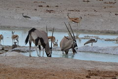 Oryxantilopet i Etosha parkerar, Namibia Royaltyfria Bilder