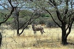 Oryxantilopgazella i savannahen Arkivfoton