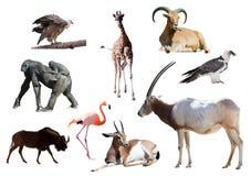 Oryxantilopkroksabel och andra afrikanska djur Arkivfoto