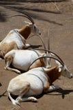 Oryxes en parque zoológico de la isla de Fuerteventura Imagenes de archivo