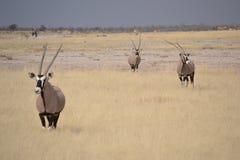 Oryxes in Etosha, Namibia Stockfotos