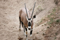 Oryxes is a genus of mammals and ruminants. Royalty Free Stock Photo