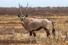 Oryxgazelle Royalty-vrije Stock Afbeeldingen