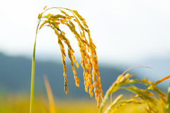 Oryza Sativa Stockfoto
