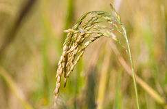 Oryza sativa Royalty Free Stock Photo