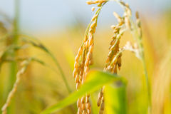 Oryza sativa Royalty Free Stock Image