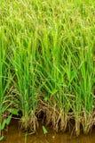 Oryza sativa con el oído del arroz en tierra de labrantío imagen de archivo