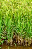 Oryza sativa with ear of rice in arable land Stock Image