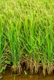 Oryza sativa with ear of rice in arable land Royalty Free Stock Images