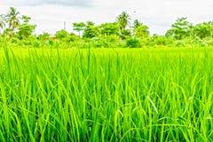 Oryza sativa grass paddy field in Thailand Stock Photos