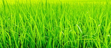 Oryza sativa grass paddy field in Thailand. It is commonly known Stock Photography