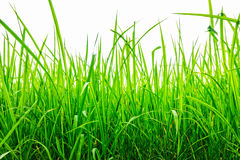Oryza sativa grass paddy field in Thailand Royalty Free Stock Images