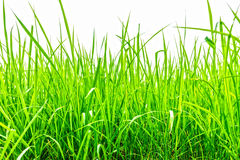 Oryza sativa grass paddy field in Thailand Stock Photography
