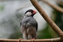 Oryzivora di Lonchura del passero di Java fotografia stock libera da diritti