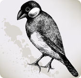 Oryzivora do Padda do pássaro, mão-desenho. Imagens de Stock Royalty Free