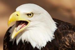 orzeł amerykański Obrazy Royalty Free