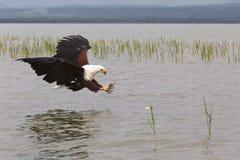 orzeł Rybi myśliwy Eagle od Jeziornego Baringo Kenja Obrazy Royalty Free