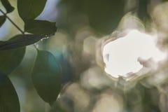 Orzechów włoskich liście na tle z świeceniem Zdjęcia Royalty Free