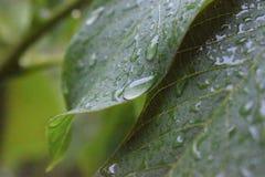 Orzechów włoskich liście w szczególe Zdjęcie Royalty Free