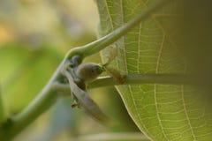 Orzechów włoskich liście w szczególe i dokrętkach Fotografia Stock