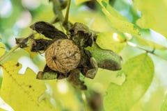 Orzech włoski na gałąź orzecha włoskiego drzewo spada z skorupy zdjęcia stock
