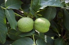 Orzech włoski na drzewie fotografia royalty free