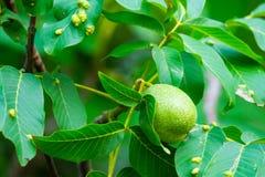 Orzech włoski na drzewie Choroby zaraza na orzechów włoskich liściach Eriophyes tristriatus Nal lub Niegrzeczna galasowa lądzieni obraz royalty free