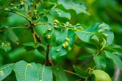 Orzech włoski na drzewie Choroby zaraza na orzechów włoskich liściach Eriophyes tristriatus Nal lub Niegrzeczna galasowa lądzieni zdjęcia royalty free