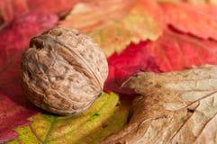 Orzech włoski na jesiennych liściach Fotografia Royalty Free