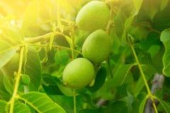 Orzech włoski na drzewie Zdjęcie Royalty Free