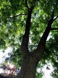 Orzecha włoskiego drzewa zbliżenie Zdjęcia Royalty Free