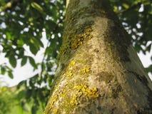 Orzecha włoskiego drzewny bagażnik z żółtym mech grzybem, liszajami i Obrazy Stock