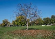 Orzecha włoskiego drzewo przy polem, z spadać liśćmi wokoło go, jesień czas Zdjęcie Royalty Free