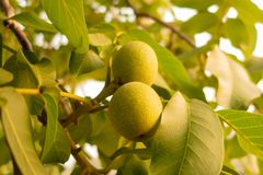 Orzecha włoskiego drzewo R czekanie zbierać zdjęcia stock